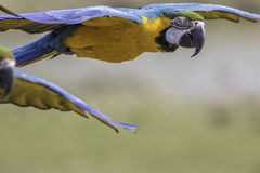 Close up of a blue and yellow (gold) macaw flying Royalty Free Stock Images