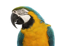 Close-up of a Blue-and-yellow Macaw, Ara ararauna, 30 years old. In front of white background royalty free stock images