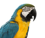 Close-up of a Blue-and-yellow Macaw, Ara ararauna, 30 years old. In front of white background stock photo