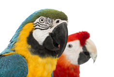 Close-up of a Blue-and-yellow Macaw, Ara ararauna, 30 years old, and Green-winged Macaw, Ara chloropterus, 1 year old. In front of white background stock photos