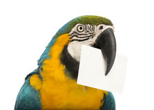 Close-up of a Blue-and-yellow Macaw, Ara ararauna, 30 years old, holding a white card in its beak. In front of white background Royalty Free Stock Photography