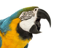 Close-up of a Blue-and-yellow Macaw, Ara ararauna, 30 years old, with its beak open. In front of white background royalty free stock photos