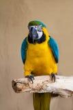 Close-up of Blue-and-Yellow Macaw, Ara ararauna, Stock Image