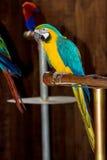 Close-up of Blue-and-Yellow Macaw, Ara ararauna, Royalty Free Stock Image