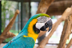 Close up of Blue-and-yellow macaw Ara ararauna Royalty Free Stock Images