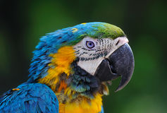 Close-up of Blue-and-Yellow Macaw, Ara ararauna Royalty Free Stock Photography