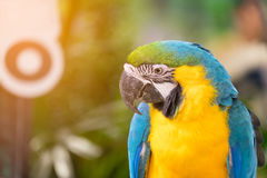 Close up of Blue-and-yellow macaw bird Stock Images
