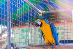 Close up blue and yellow macaw or blue and gold macaw bird in cage. Close up blue and yellow macaw or blue and gold macaw bird standing perch on the branch in Royalty Free Stock Image