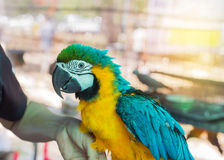 Close up blue and yellow macaw or blue and gold macaw bird in cage. Close up blue and yellow macaw or blue and gold macaw bird standing perch on the branch in Stock Image