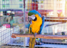 Close up blue and yellow macaw or blue and gold macaw bird standing perch on the branch Royalty Free Stock Images