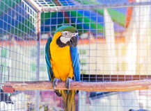 Close up blue and yellow macaw or blue and gold macaw bird standing perch on the branch. In cage Stock Image