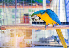 Close up blue and yellow macaw or blue and gold macaw bird standing perch on the branch. In cage Royalty Free Stock Photo