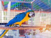 Close up blue and yellow macaw or blue and gold macaw bird standing perch on the branch. In cage Stock Photography