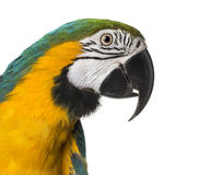 Close-up of a Blue-and-yellow Macaw. Isolated on white royalty free stock photo