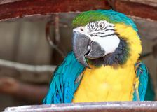 Close up of a blue yellow macaw parrot. Close up of a colorful blue yellow macaw parrot  in a park royalty free stock images