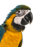 Close-up of a Blue-and-yellow Macaw (14 weeks old) isloated on w Stock Photography