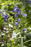 A close up of bluebell flowers in springtime Royalty Free Stock Images