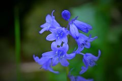Close up Bluebell with green background Royalty Free Stock Photography