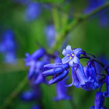 Close up of a bluebell Stock Photos