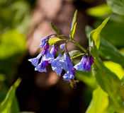 Close up of bluebells in April Royalty Free Stock Photo