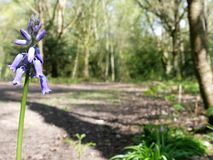 Close-up of bluebells with blurred woodland background, Chorleywood Common stock image