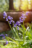 Close Up Bluebells Royalty Free Stock Photography