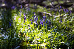 Close-up of bluebells in Tranendal (Teardrop Valley) in Hallerbos wood Stock Images