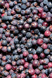 Close-up of blueberries. Background of freshly picked organic Blueberry Royalty Free Stock Photos