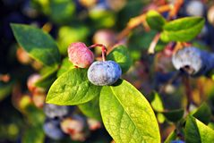Close up of blueberries ripening on a bush Royalty Free Stock Photo
