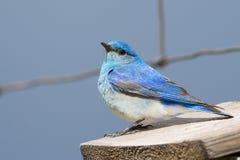 Close-up of a bluebird