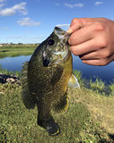 Close up of a Bluegill held by a fisherman Royalty Free Stock Image