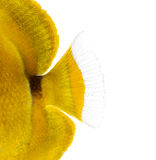Close-up of a Bluelashed butterflyfish's caudal fin. Chaetodon bennetti, isolated on white royalty free stock photo