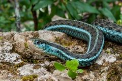 Bluestripe Garter Snake Thamnophis sirtalis similis. A close up of a Bluestripe Garter snake in natural habitat in Florida Royalty Free Stock Image