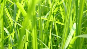 Close up of blur tropical green grass with sun light. Natural texture with juicy leaves. Sunlight on the leaf. stock footage
