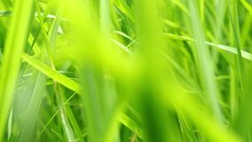 Close up of blur tropical green grass with sun light. Natural texture with juicy leaves. Sunlight on the leaf. Close up of blur tropical green grass with sun stock video