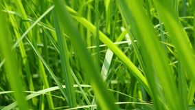 Close up of blur tropical green grass with sun light. Natural texture with juicy leaves. Sunlight on the leaf. Close up of blur tropical green grass with sun stock footage