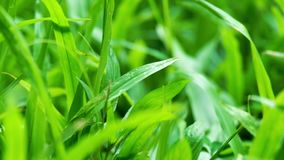 Close up of blur tropical green grass with sun light. Natural texture with juicy leaves. Sunlight on the leaf. stock video