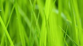 Close up of blur tropical green grass with sun light. Natural texture with juicy leaves. Sunlight on the leaf. Close up of blur tropical green grass with sun stock video footage