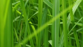 Close up of blur tropical green grass with sun light. Natural texture with juicy leaves. Sunlight on the leaf. stock video footage