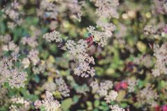 Close up blurred image of hoya memoria flowers stock photography
