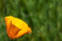 A blurry california poppy stock photography