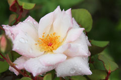 Close up of Blush Pink Rose with Water Droplets Stock Photo