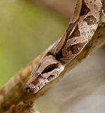 Close-up of a Boa Constrictor Stock Image