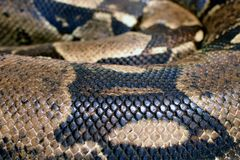 Close up of Boa constrictor also called the red-tailed boa or the common boa stock images