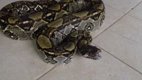 Close-up | boa constrictor python, Costa Rica,. Extreme close-up high angle, aerial zoom in panning shot of a drooling boa constrictor on a floor, Costa Rica stock footage