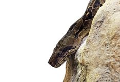 Close up Boa Constrictor on The Rock Isolated on White Background with Clipping Path and Copy Space stock photos