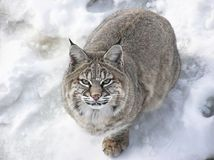 Close-up of Bobcat lynx. Close-up from above of a Bobcat lynx on snow Stock Images