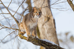 Close-up of bobcat in tree. In winter Royalty Free Stock Images