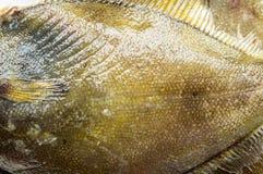 Close up of the body of fresh flatfish Stock Image