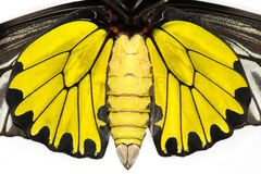 Close up body of male  Common Golden Bird-wing butterfly Royalty Free Stock Images